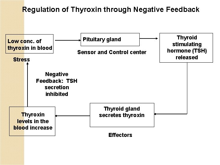 Regulation of Thyroxin through Negative Feedback Low conc. of thyroxin in blood Pituitary gland