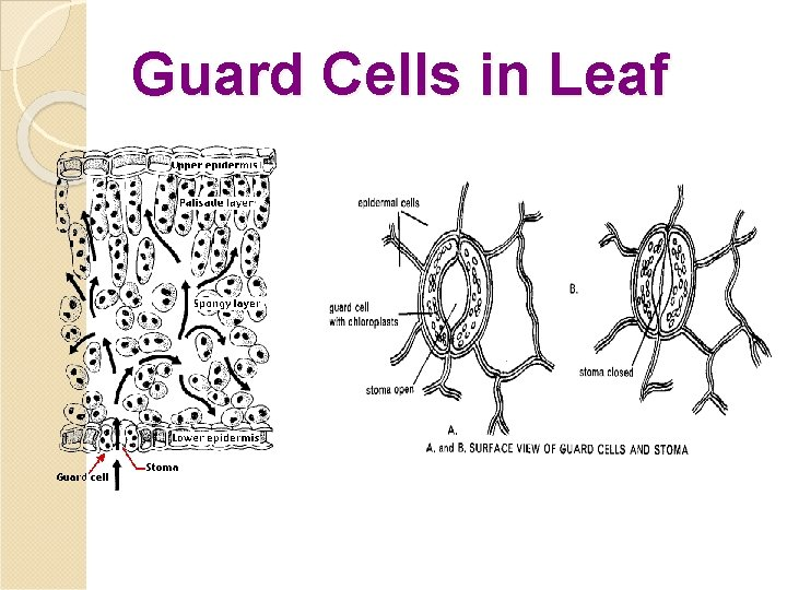 Guard Cells in Leaf