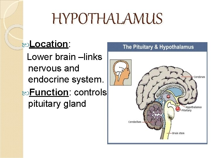 HYPOTHALAMUS Location: Lower brain –links nervous and endocrine system. Function: controls pituitary gland