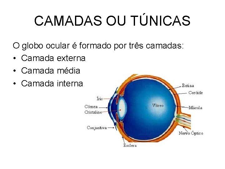 CAMADAS OU TÚNICAS O globo ocular é formado por três camadas: • Camada externa