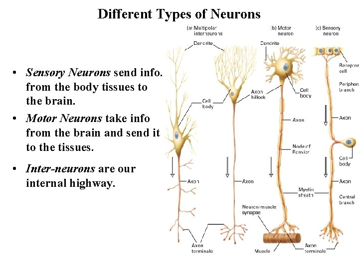Different Types of Neurons • Sensory Neurons send info. from the body tissues to