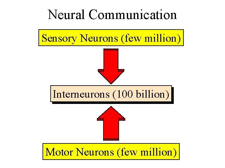 Neural Communication Sensory Neurons (few million) Interneurons (100 billion) Motor Neurons (few million)