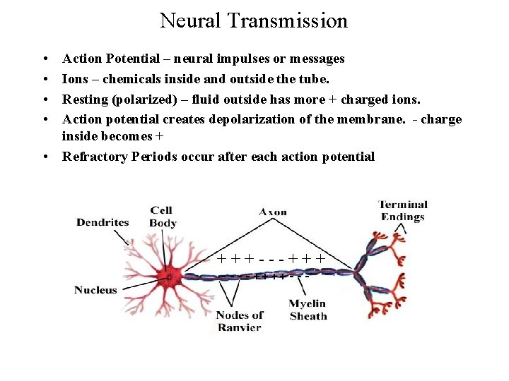 Neural Transmission • • Action Potential – neural impulses or messages Ions – chemicals
