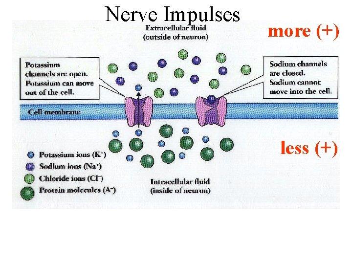 Nerve Impulses more (+) less (+)