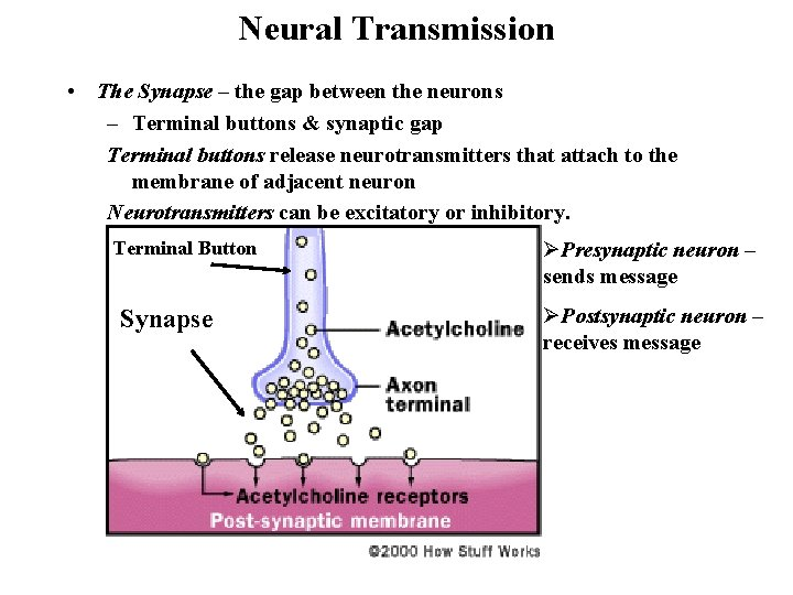 Neural Transmission • The Synapse – the gap between the neurons – Terminal buttons