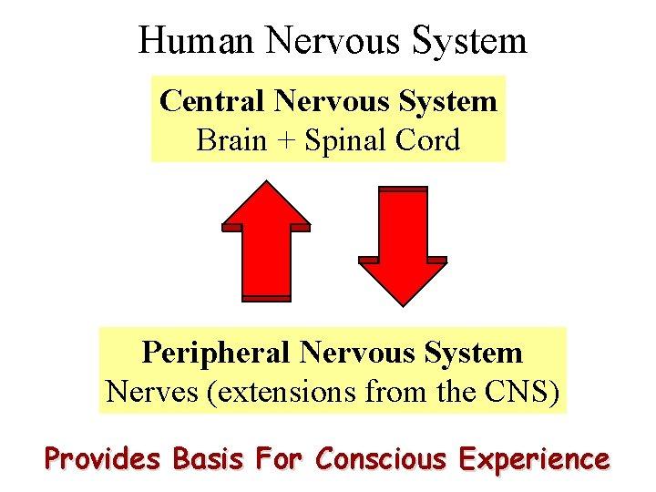 Human Nervous System Central Nervous System Brain + Spinal Cord Peripheral Nervous System Nerves