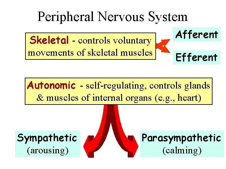Peripheral Nervous System Skeletal - controls voluntary movements of skeletal muscles Afferent Efferent Autonomic