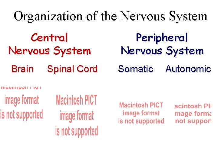 Organization of the Nervous System Central Nervous System Brain Spinal Cord Peripheral Nervous System