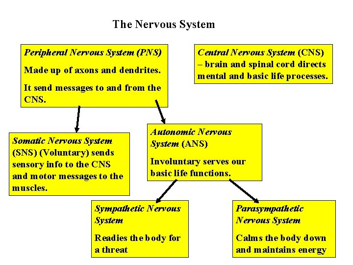 The Nervous System Peripheral Nervous System (PNS) Made up of axons and dendrites. Central
