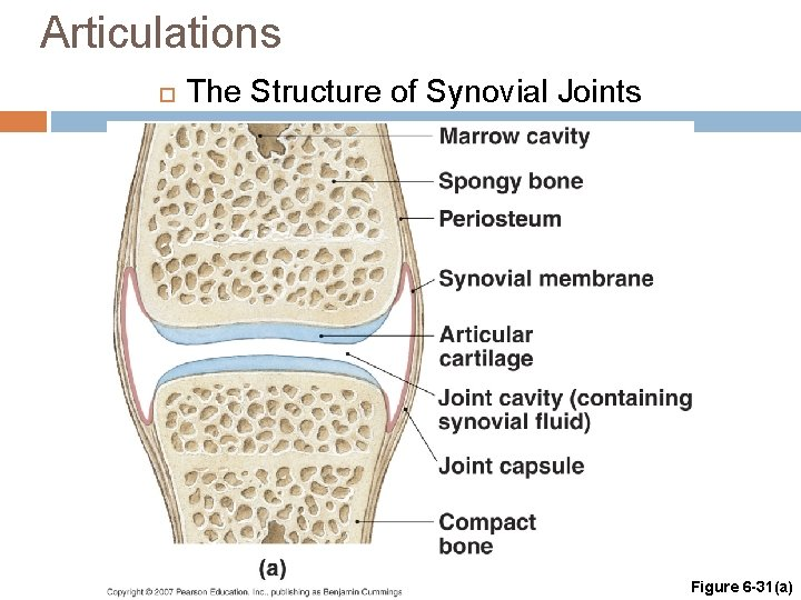 Articulations The Structure of Synovial Joints Figure 6 -31(a)