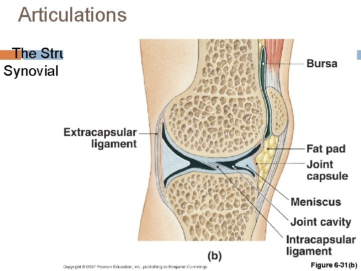 Articulations The Structure of Synovial Joints Figure 6 -31(b)