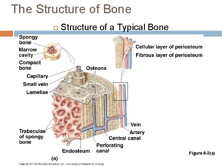 The Structure of Bone Structure of a Typical Bone Figure 6 -3(a)
