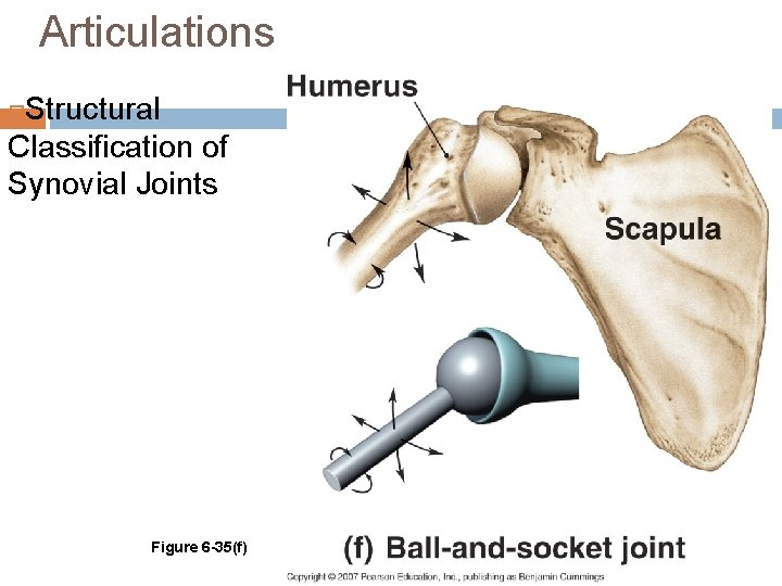 Articulations Structural Classification of Synovial Joints Figure 6 -35(f)