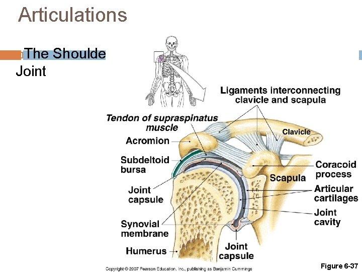 Articulations The Shoulder Joint Figure 6 -37