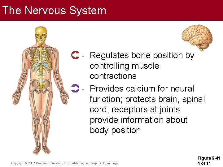 The Nervous System • • Regulates bone position by controlling muscle contractions Provides calcium