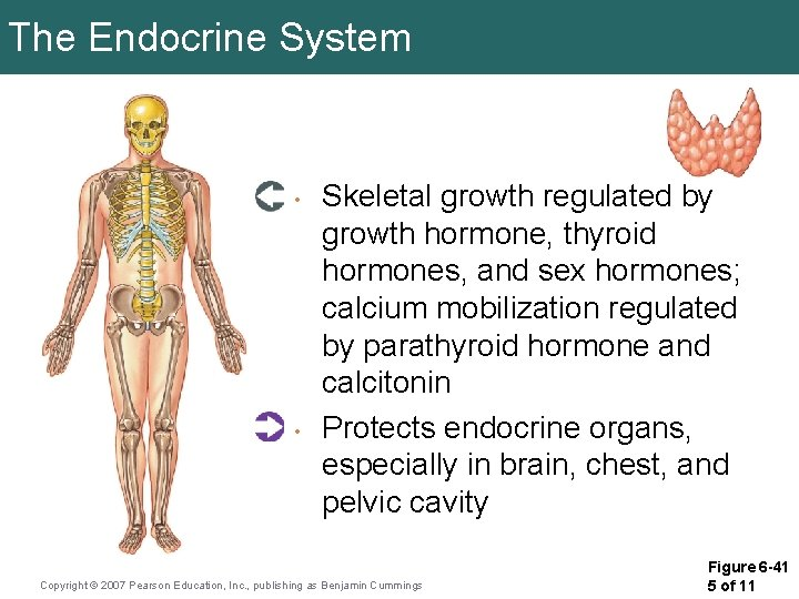 The Endocrine System • • Skeletal growth regulated by growth hormone, thyroid hormones, and