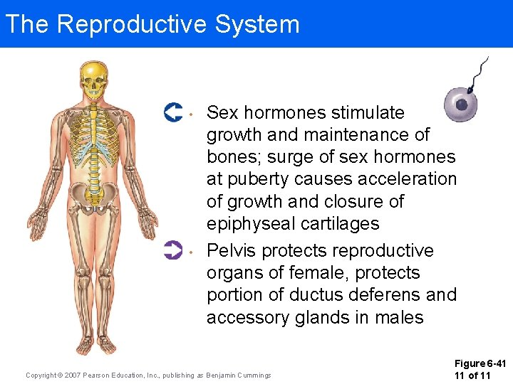 The Reproductive System • • Sex hormones stimulate growth and maintenance of bones; surge