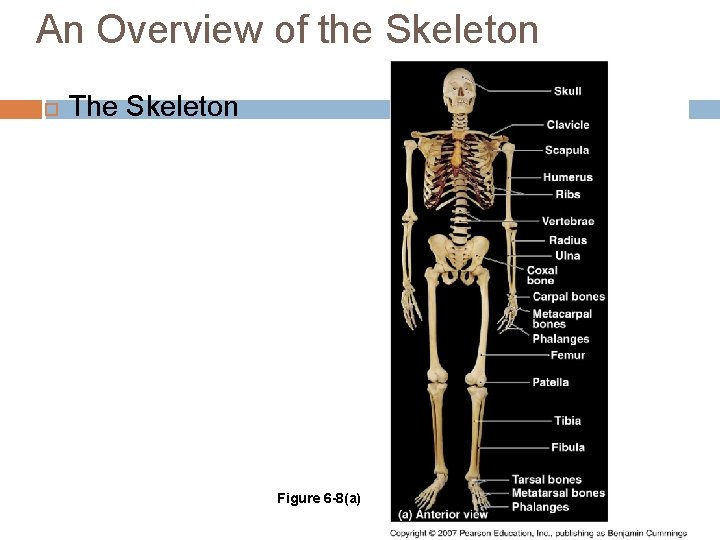 An Overview of the Skeleton The Skeleton Figure 6 -8(a)