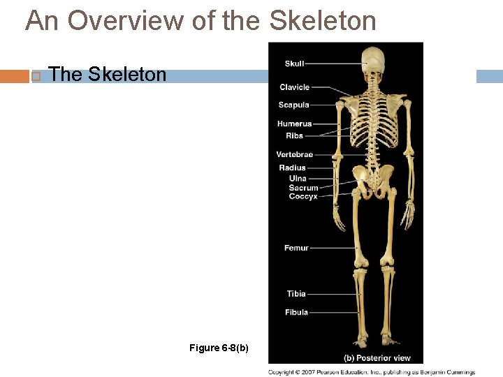 An Overview of the Skeleton The Skeleton Figure 6 -8(b)