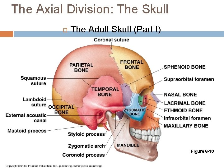The Axial Division: The Skull The Adult Skull (Part I) Figure 6 -10
