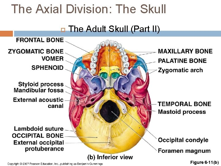 The Axial Division: The Skull The Adult Skull (Part II) Figure 6 -11(b)