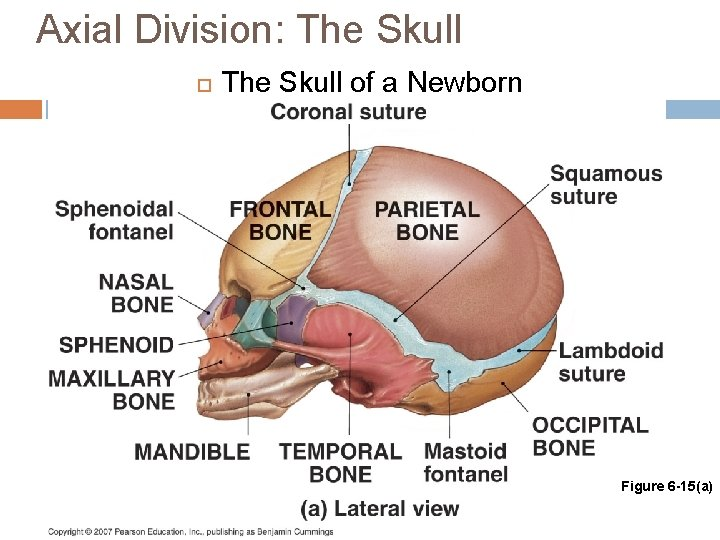 Axial Division: The Skull of a Newborn Figure 6 -15(a)