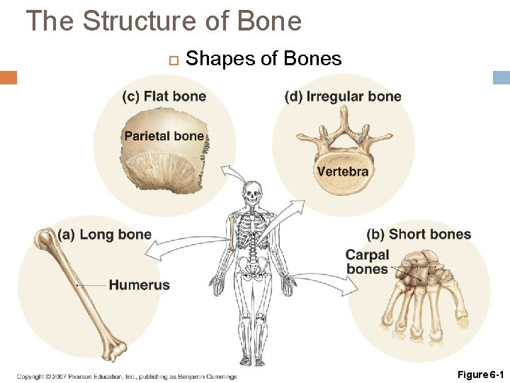 The Structure of Bone Shapes of Bones Figure 6 -1