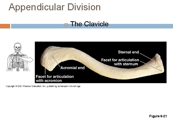 Appendicular Division The Clavicle Figure 6 -21