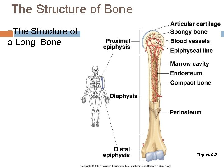 The Structure of Bone The Structure of a Long Bone Figure 6 -2
