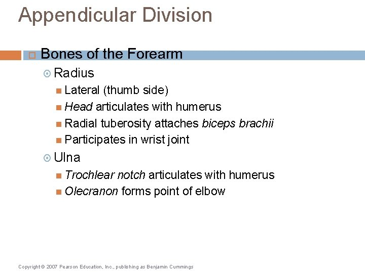 Appendicular Division Bones of the Forearm Radius Lateral (thumb side) Head articulates with humerus