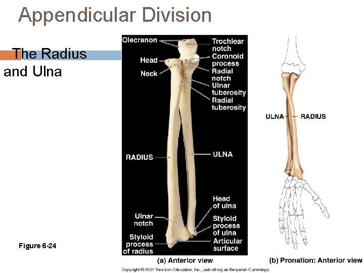 Appendicular Division The Radius and Ulna Figure 6 -24
