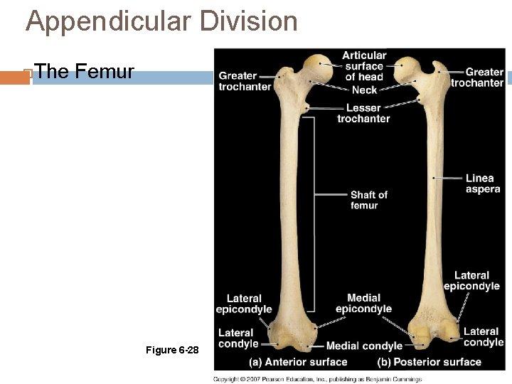 Appendicular Division The Femur Figure 6 -28