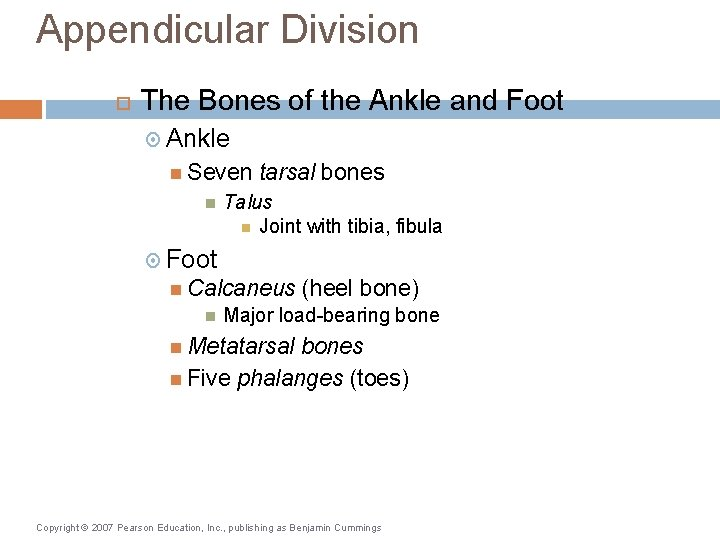 Appendicular Division The Bones of the Ankle and Foot Ankle Seven tarsal bones Talus