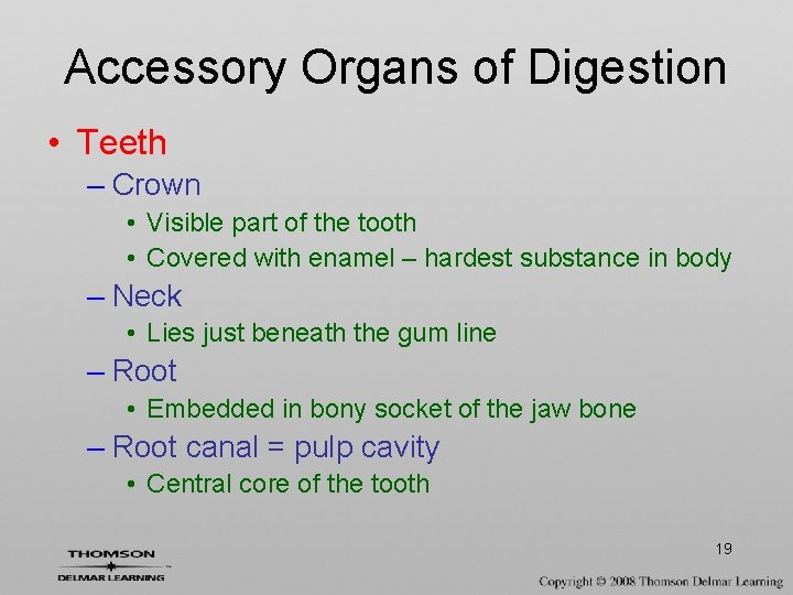 Accessory Organs of Digestion • Teeth – Crown • Visible part of the tooth