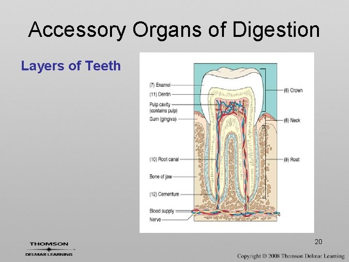 Accessory Organs of Digestion Layers of Teeth 20