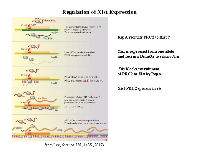 Regulation of Xist Expression Rep. A recruits PRC 2 to Xist ? Tsix is
