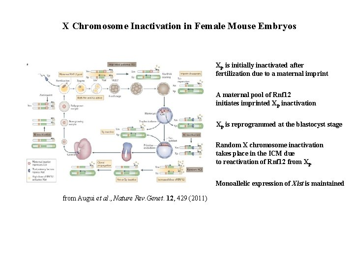 X Chromosome Inactivation in Female Mouse Embryos Xp is initially inactivated after fertilization due