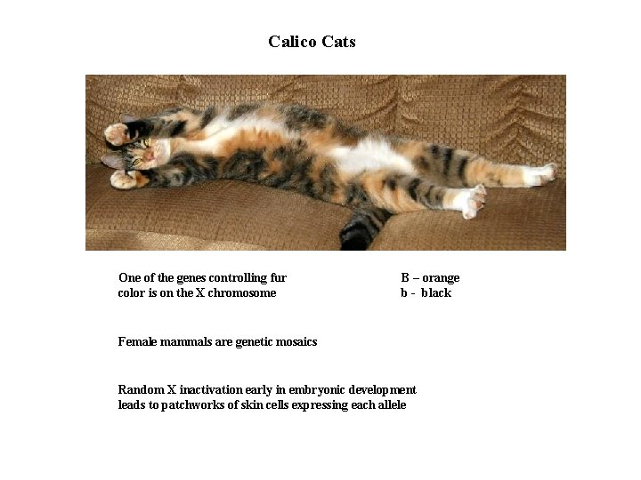 Calico Cats One of the genes controlling fur color is on the X chromosome