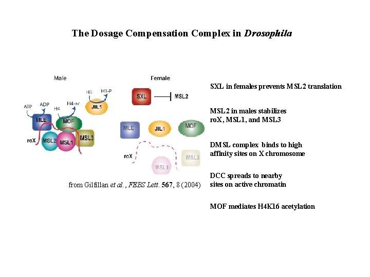 The Dosage Compensation Complex in Drosophila SXL in females prevents MSL 2 translation MSL