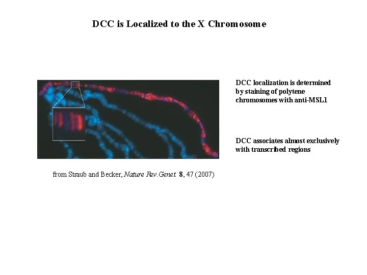 DCC is Localized to the X Chromosome DCC localization is determined by staining of