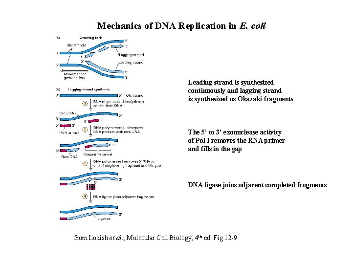 Mechanics of DNA Replication in E. coli Leading strand is synthesized continuously and lagging