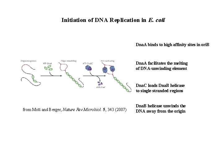 Initiation of DNA Replication in E. coli Dna. A binds to high affinity sites