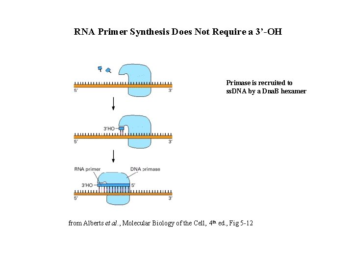 RNA Primer Synthesis Does Not Require a 3'-OH Primase is recruited to ss. DNA