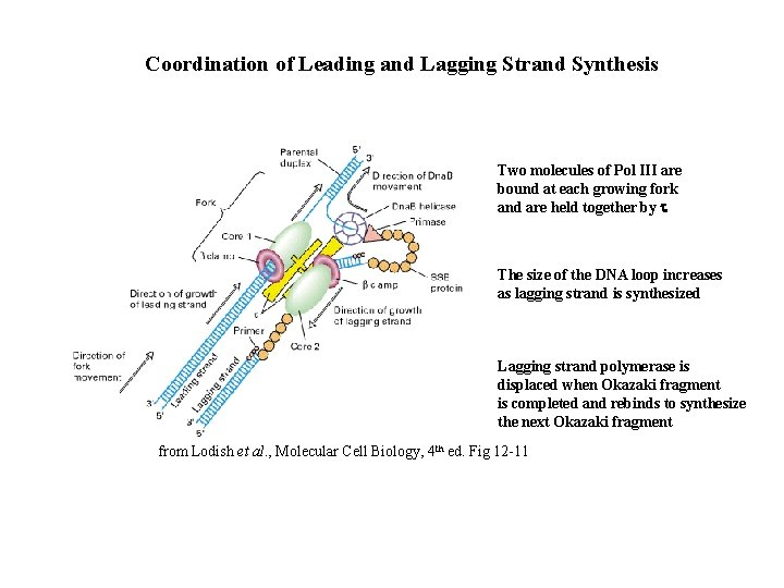Coordination of Leading and Lagging Strand Synthesis Two molecules of Pol III are bound