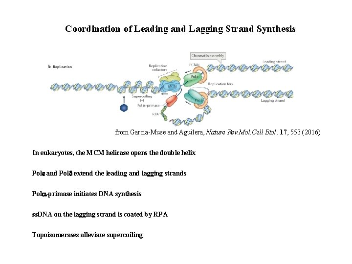Coordination of Leading and Lagging Strand Synthesis from Garcia-Muse and Aguilera, Nature Rev. Mol.