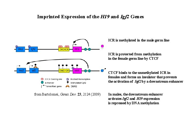 Imprinted Expression of the H 19 and Igf 2 Genes ICR is methylated in