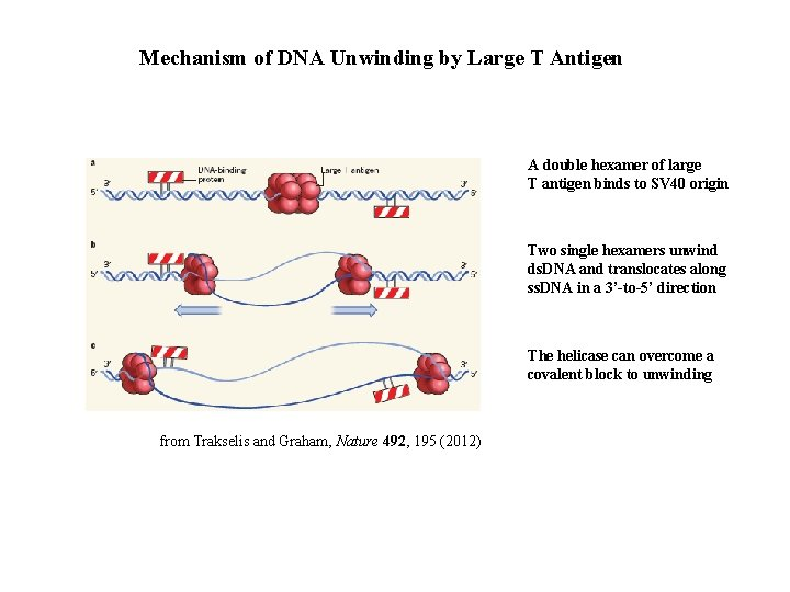 Mechanism of DNA Unwinding by Large T Antigen A double hexamer of large T