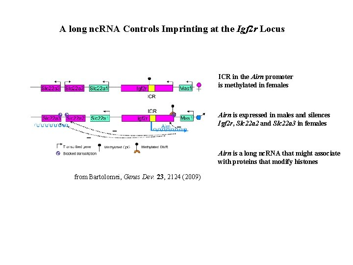A long nc. RNA Controls Imprinting at the Igf 2 r Locus ICR in
