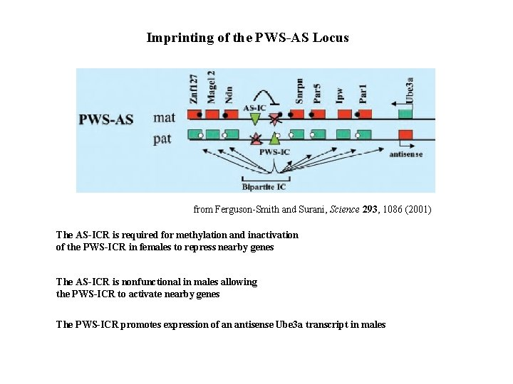 Imprinting of the PWS-AS Locus from Ferguson-Smith and Surani, Science 293, 1086 (2001) The