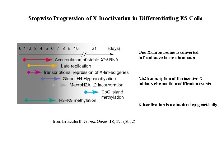 Stepwise Progression of X Inactivation in Differentiating ES Cells One X chromosome is converted